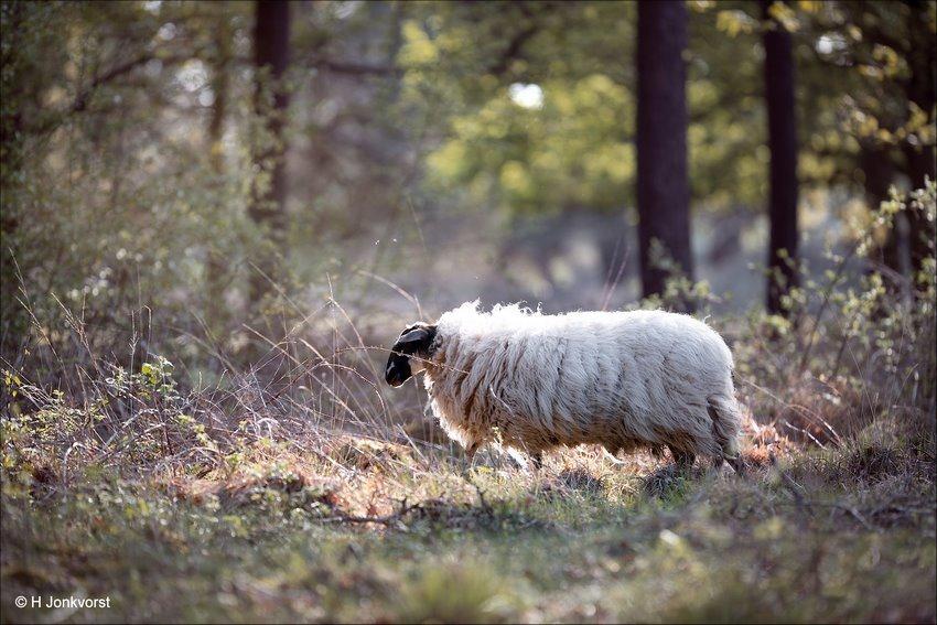 ongerepte natuur, Heideschaap, heideschapen, Schoonebeker schaap, Schoonerbeker, schapen in natuurgebieden, schapenras, natuurreservaat Takkenhoogte, natuurgebied Takkenhoogte, takkenhoogte, Reestdal, Canon eos R