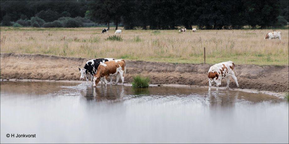 Een dagje aan het strand, badderende dieren, badende dieren, dieren te water, De Vecht Ommen, Koeien in het water, Koeien te water, badende koeien, Pootje baden, Fujifilm XT2, Fujifilm XF 16-55mm F2.8 R Lm Wr, Landschap