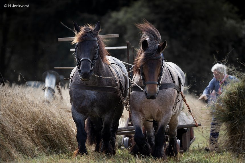Oogstdag Dwingeloo 2019, Oogstdag Dwingeloo, Oogstdag Lhee 2019, Oogstdag Lhee, Oogstfeest Dwingeloo, Oogstfeest Lhee, Oogstdag, Belgisch werkpaard, Belgisch trekpaard, Belgische knol, Oogstdag oude stijl