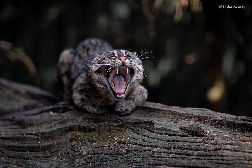 kattig katje, kattig, agressieve kat, blazende kat, vissende kat, tanden laten zien, achterste van je tong laten zien, laat eens het achterste van je tong zien, boze kat, Taman Indonesia, Canon eos R, Canon EF 85mm f1.2L