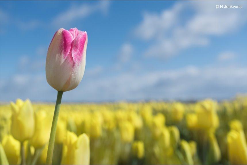 bollenstreek, bollenveld, tulp, tulpen, Dare to be different, anders dan anderen, eigen mening, eigen mening hebben, opvallen, andersdenkend, niet met de stroom mee gaan, tegen de stroom in, met kop en schouders, uitsteken