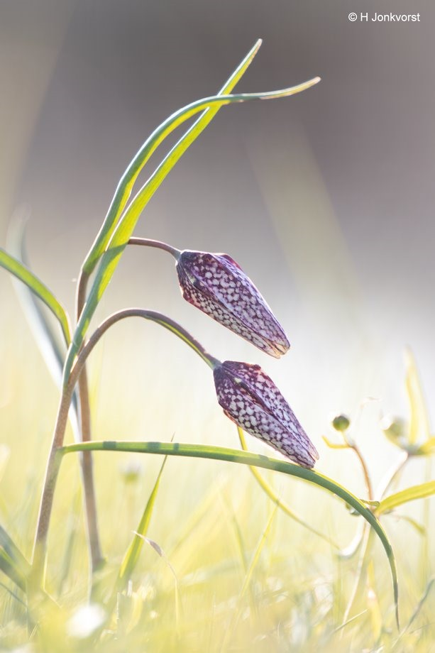 Canon 2x Extender, Canon EF 200mm f2L IS USM, Canon eos R, Flora, Foto, Fotografie, Fritillaria meleagris, kievitsbloem, natuur, Natuurgebied de Brommerd, Natuurreservaat de Brommerd, Photo, Photography, stinzenplant