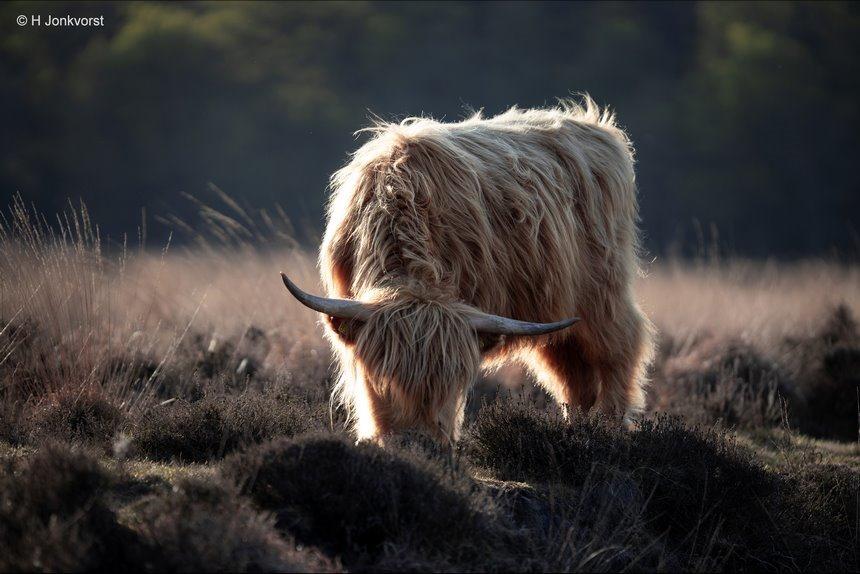 Schotse Hooglander, Hooglander, woesteling, vreedzaam, imponeren, imponerende verschijning, koeienras, natuurgebied Takkenhoogte, Horens, Canon EF 200mm f2L IS USM, Fotografie, Foto, Photography, Photo
