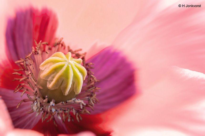 een schot in de roos, klaproos, flora, bloemen fotograferen, Canon eos R, Canon EF 100mm f2.8L Macro, Macro inflitsen, flitskabel, Fotografie, Foto, Photography, Photo