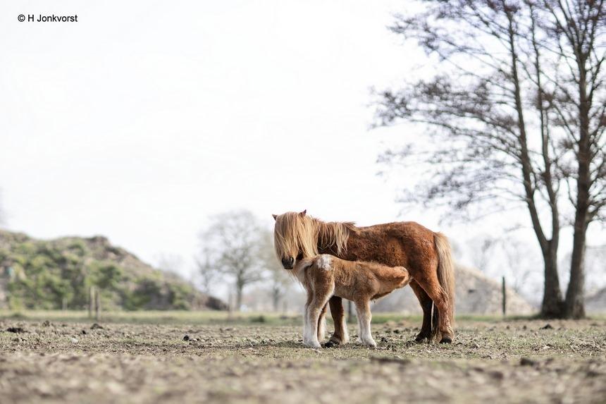nieuw leven in de wei, voorjaar, voorjaarsgevoel, pony en veulen, nieuw leven, Staphorst, Fauna, april doet wat het wil, winter in april, Canon eos R, Canon EF 85mm f1.2L II USM, Fotografie, Foto, Photography, Photo