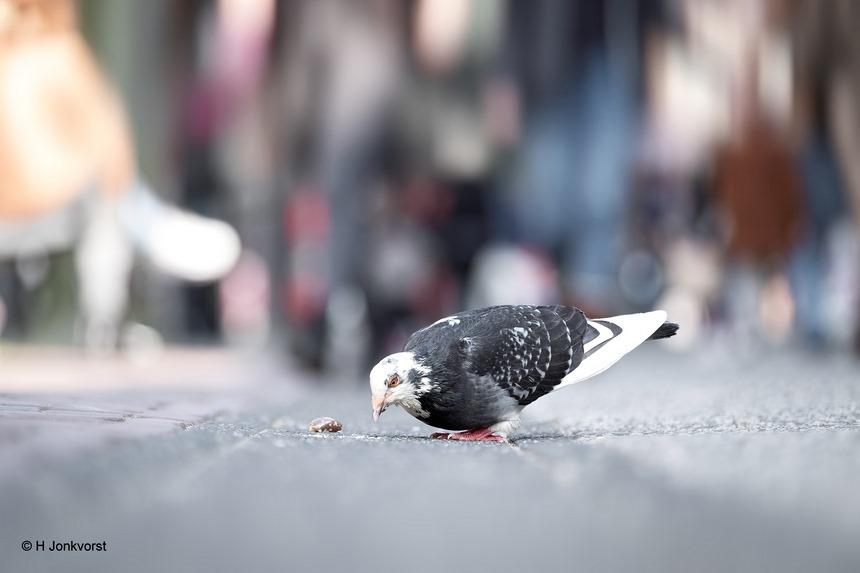 vliegende ratten. vliegende rat, stadsrat, Zwolle, Zwolle binnenstad, duif, graantje meepikken, ziekteverspreider, overlast van duiven, brutale duif, Fujifilm XT2, Fujifilm XF 50-140mm F2.8 R LM OIS WR, Fotografie, Foto