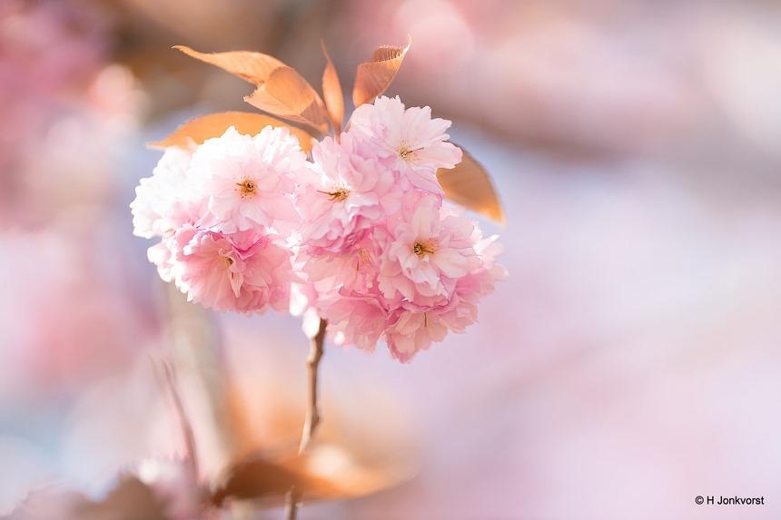 pretty in pink, bloesem, blossom, Flora, voorjaar, voorjaarsgevoel, spring, uitlopende bomen, roze, pink, Canon eos R, Canon EF 200mm f2L IS USM, Fotografie, Foto, Photography, Photo